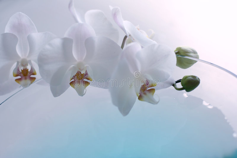 Orchidee over blauw stock foto
