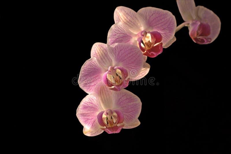 Orchidee, phalaenopsis royalty-vrije stock foto's
