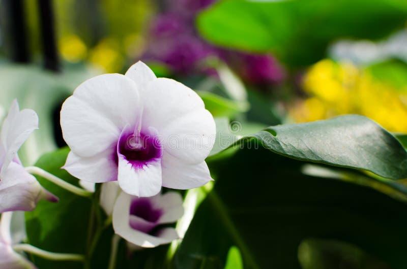 Orchidee porpora bianche fotografia stock libera da diritti