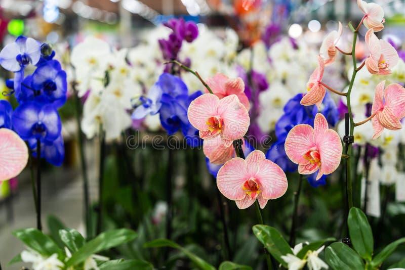 Orchidee in pot in bloemwinkel Concept bloemenmarkt royalty-vrije stock afbeelding