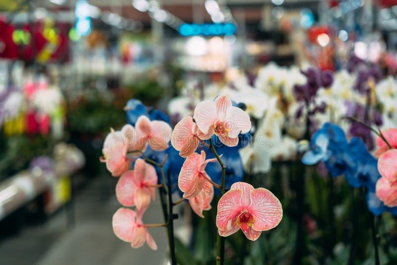 Orchidee in pot in bloemwinkel Concept bloemenmarkt royalty-vrije stock foto's