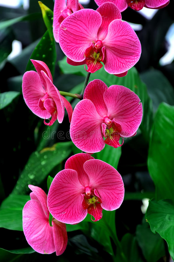 Orchidee rosa fotografia stock
