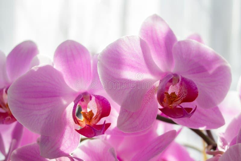 Orchidee rosa di phalaenopsis, bei fiori dell'orchidea nel giardino al sole, phalaenopsis di rosa dell'orchidea fotografia stock libera da diritti
