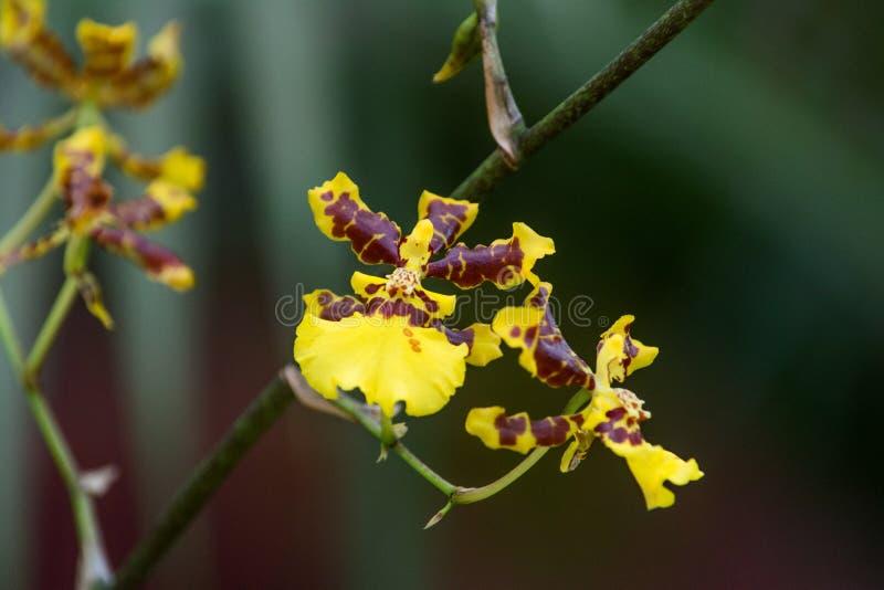 Orchidee in Sri Lanka stock fotografie