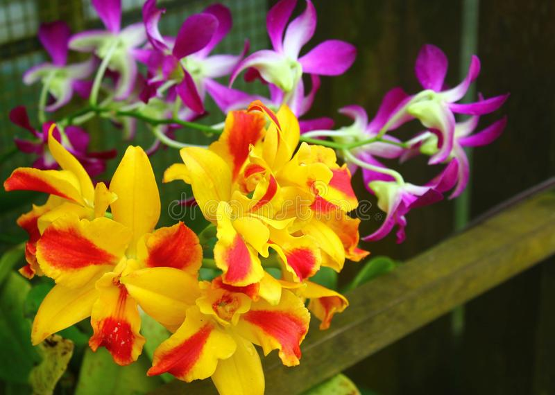 Orchidee-Strybing arboretum-San Francisco Botanical Garden stock fotografie