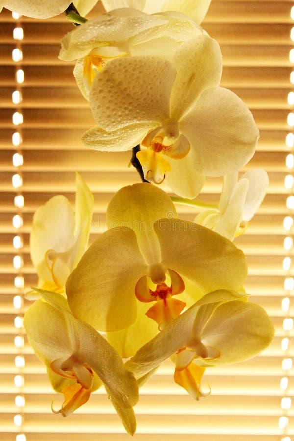 Orchidee tenere di fioritura come parte dell'interno fotografie stock