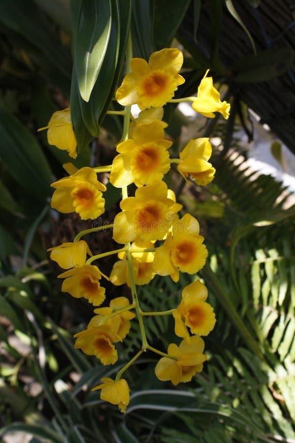 Orchidee Thailand lizenzfreie stockfotos