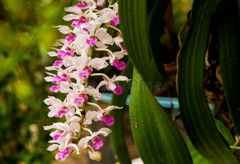 Orchidee w ogródzie w wiośnie dla orchidei obrazy stock