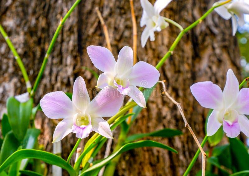 Orchidee w ogródzie w wiośnie dla orchidei obraz stock