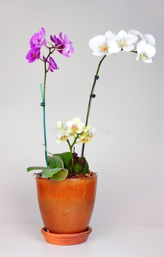Orchideeanlage lizenzfreies stockfoto