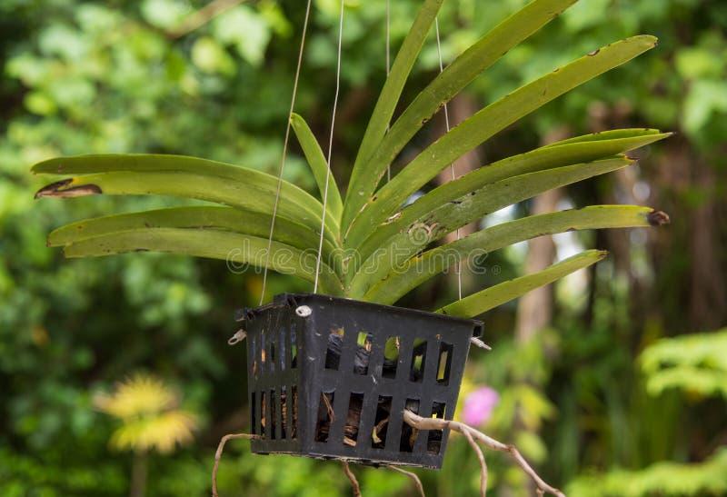Orchideebloem het groeien in de pot stock foto