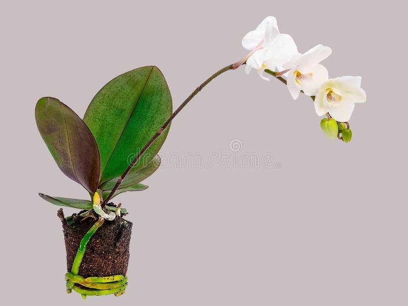 Orchideebloem met stam, bladeren, wortels en aarde op grijze achtergrond wordt geïsoleerd die stock foto's