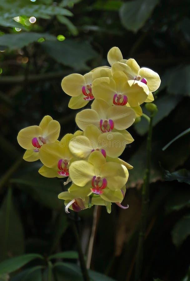 Orchideebloem in orchideetuin stock afbeelding