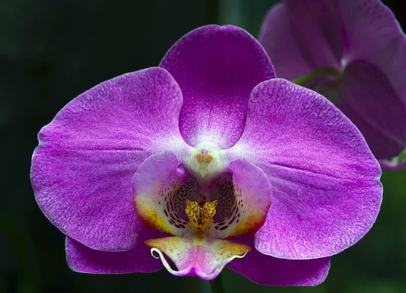 Orchideebloem in tropische tuin De bloem van de Phalaenopsisorchidee het groeien op Tenerife, Canarische Eilanden royalty-vrije stock fotografie