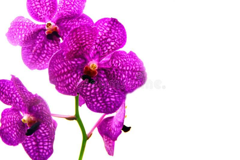 Orchideebloemen op witte achtergrond worden geïsoleerd die stock afbeelding