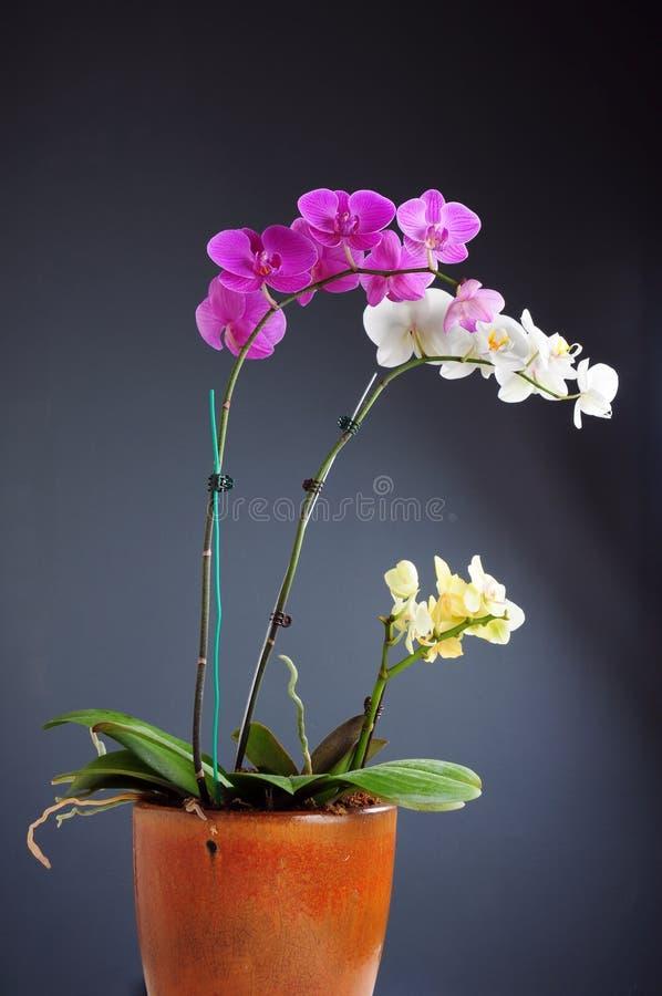 Orchideeblume stockbild