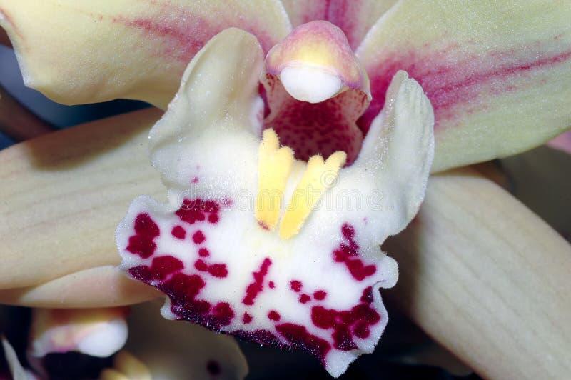 Orchideedetail (voortplantingsorganen) stock fotografie
