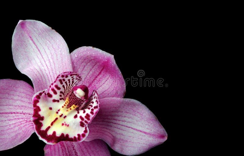 Download Orchideen Auf Einem Schwarzen Hintergrund Stockfoto - Bild von blumenblatt, getrennt: 106803382