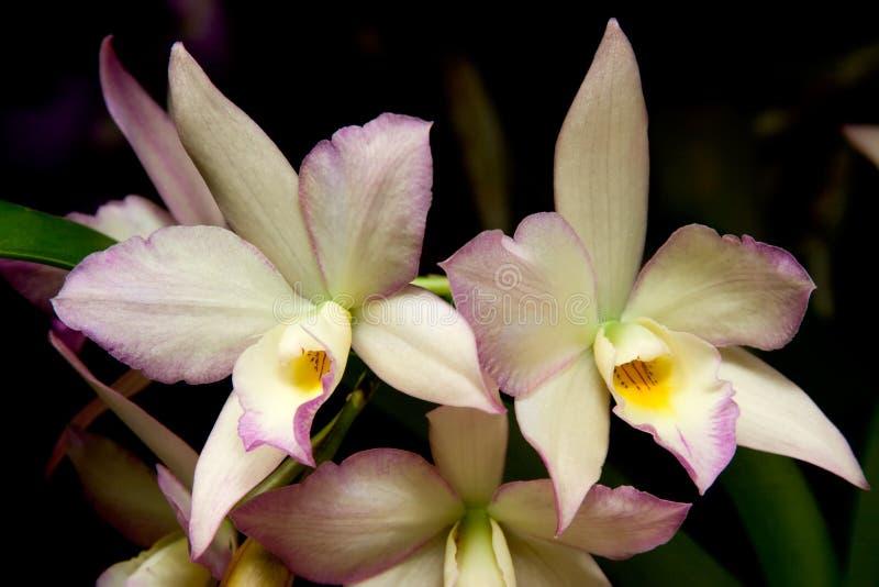 Orchideen blüht (Dendrobium-SP) lizenzfreies stockfoto