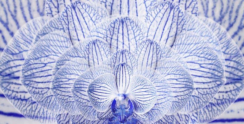 Orchideen blau-weiß Hintergrund von Blumenorchideen Tulpen und Winde auf einem weißen Hintergrund nahaufnahme Bunte gestreifte Bl stock abbildung