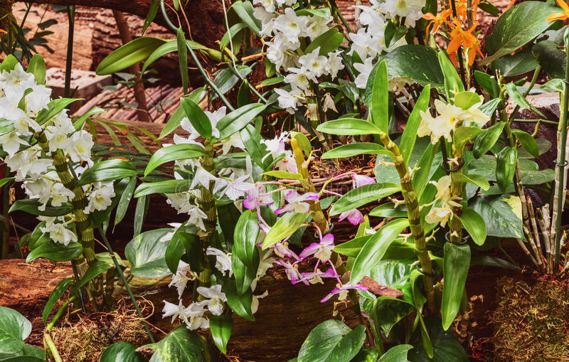 orchideen dendrobium nobile im gew chshaus stockfoto. Black Bedroom Furniture Sets. Home Design Ideas