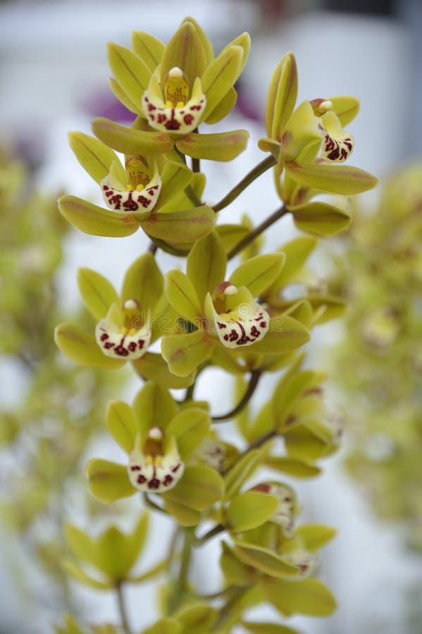 Orchideen-Geisteskrankheit lizenzfreie stockfotografie