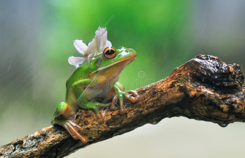 Orchideen-Gottesanbeterin und Frosch, Red Eye-Frosch, pummelig, Gottesanbeterin-Orchidee lizenzfreie stockfotografie