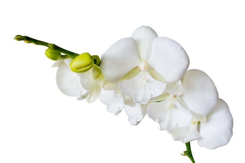 Orchideen-große Lippe, weiße Niederlassungsorchidee blüht lizenzfreies stockfoto