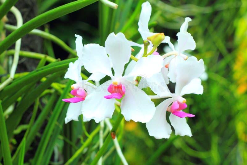 Orchideen im Garten (Phalaenopsis-Kreuzung) stockfoto