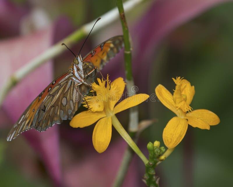 Orchideen-Stern-Tal lizenzfreie stockfotografie