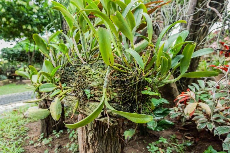 Orchideen-Wurzeln befestigt zu einem Holz lizenzfreies stockfoto
