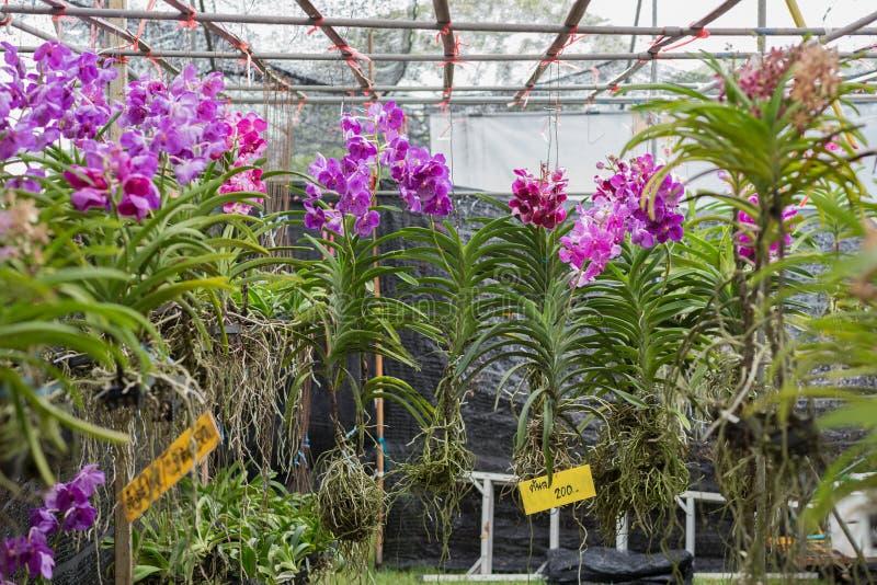 Orchideenanlagen mit Blumen für Verkauf lizenzfreies stockbild