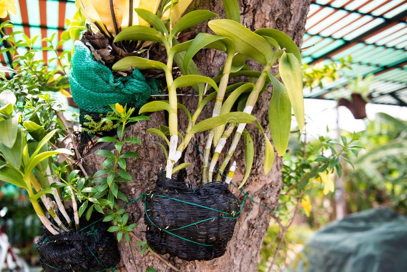 Orchideenanlagen wachsen auf Baum wachsen stockbilder