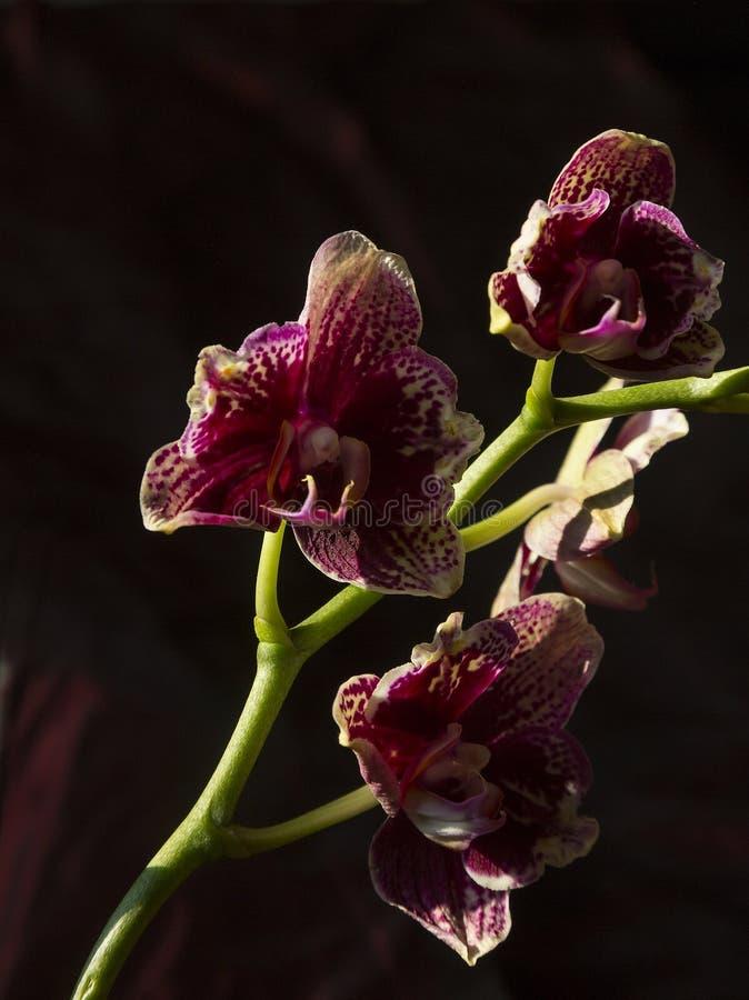 Orchideenblumenblühen stockbild