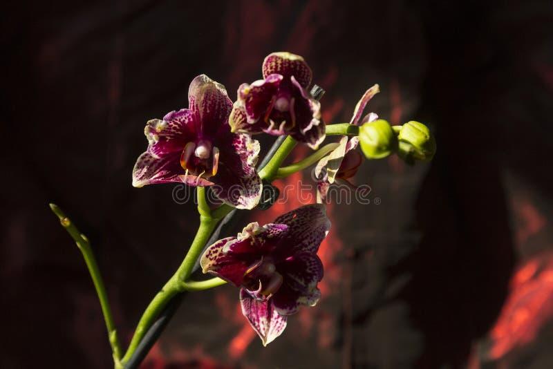 Orchideenblumenblühen stockfoto