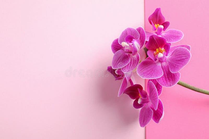 Orchideenniederlassung mit schönen Blumen auf rosa Hintergrund, Draufsicht lizenzfreie stockfotografie
