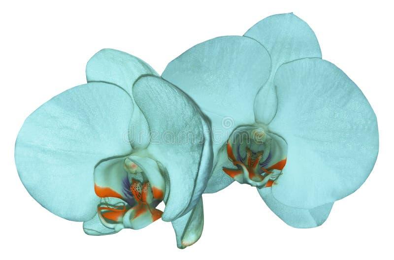 Orchideentürkisblume lokalisiert auf weißem Hintergrund mit Beschneidungspfad nahaufnahme Türkis Phalaenopsisblume mit Orange-v stockbild