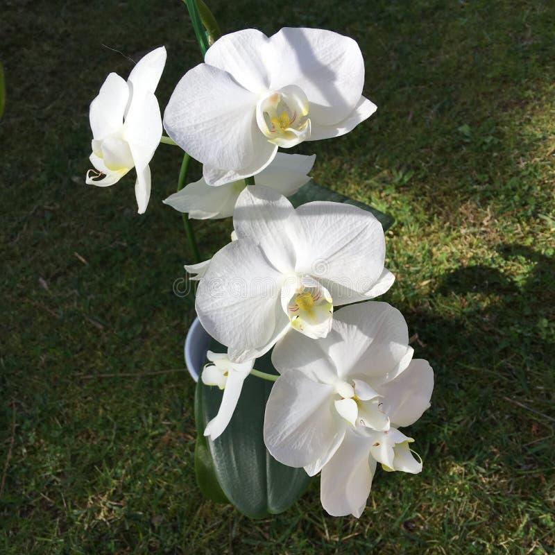 Orchideeschoonheid stock foto