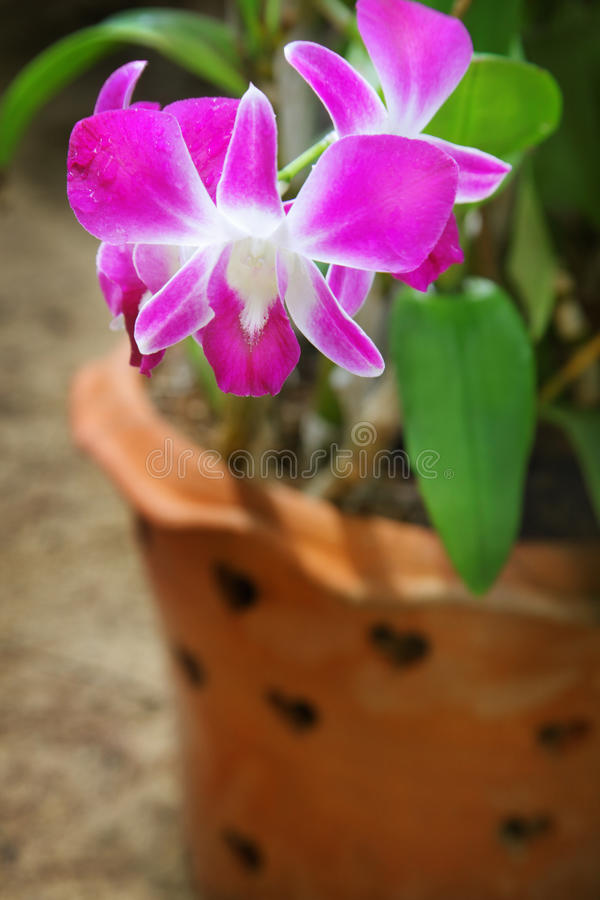 orchidei menchie fotografia royalty free