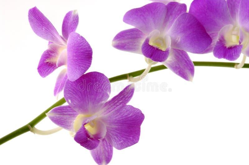 orchidei menchie zdjęcie stock