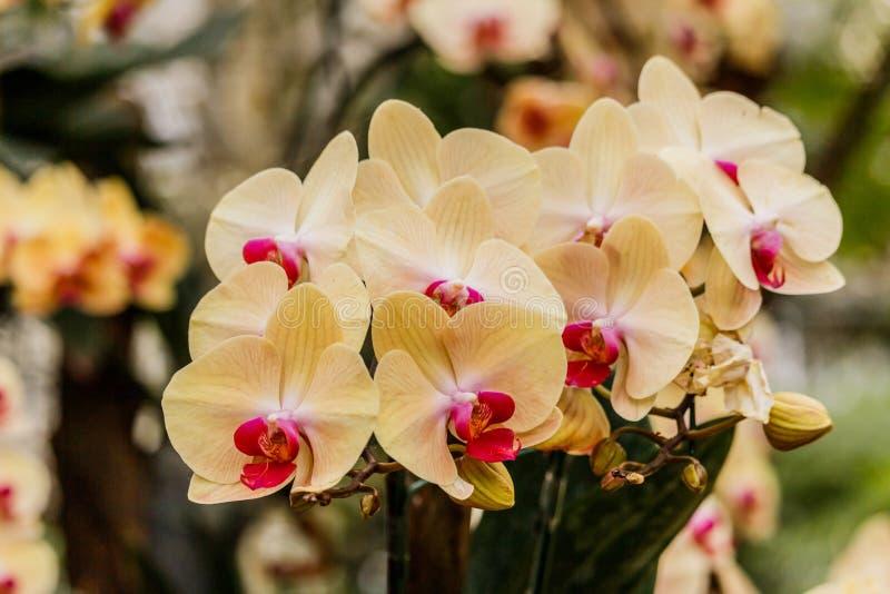 Orchidei piękna kwitnienie w ogródzie Przy wiosna czasem obraz royalty free