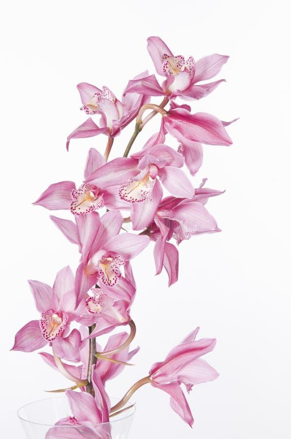 orchidei piękne menchie obrazy royalty free