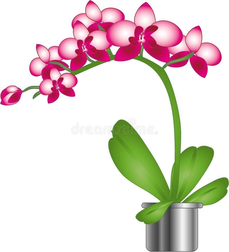 orchidei piękne menchie fotografia stock