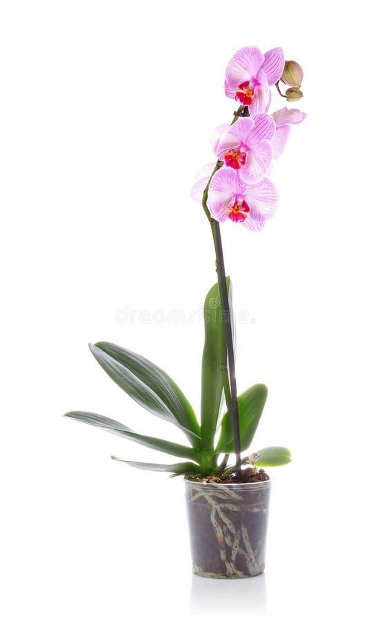 Orchidlila i kruka fotografering för bildbyråer