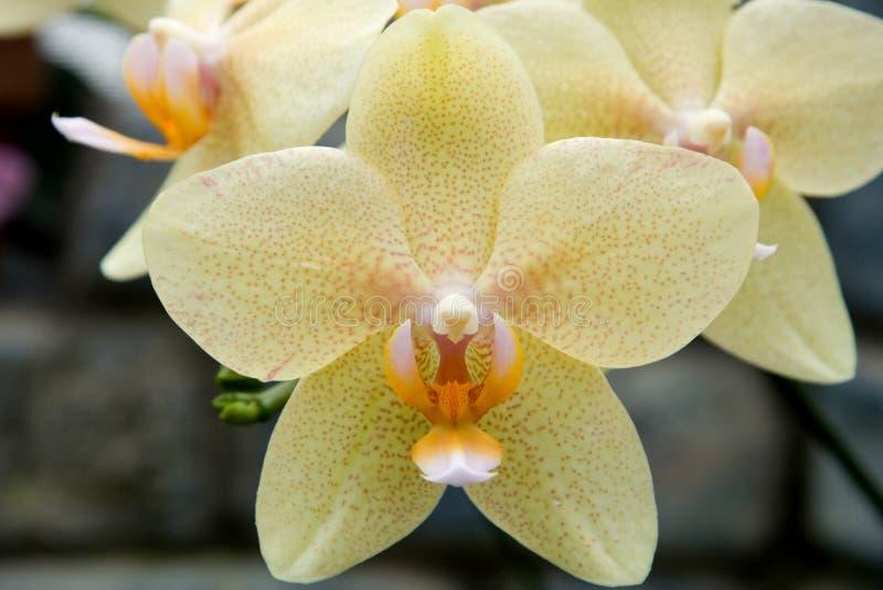 orchidphalaenopsis royaltyfria foton