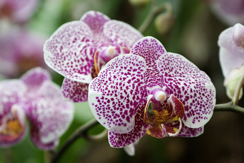 orchidphalaenopsis royaltyfri bild