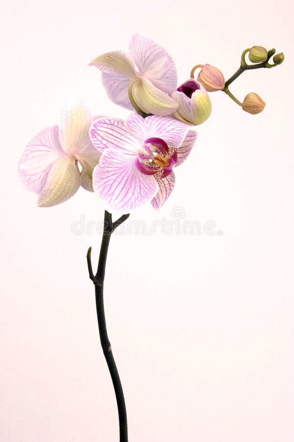 orchidpink arkivbilder