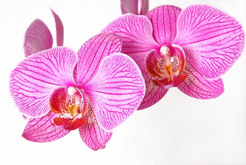 orchidpink royaltyfri foto