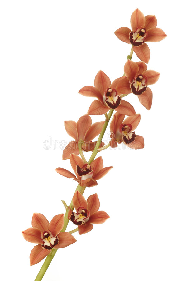 orchidred royaltyfri bild