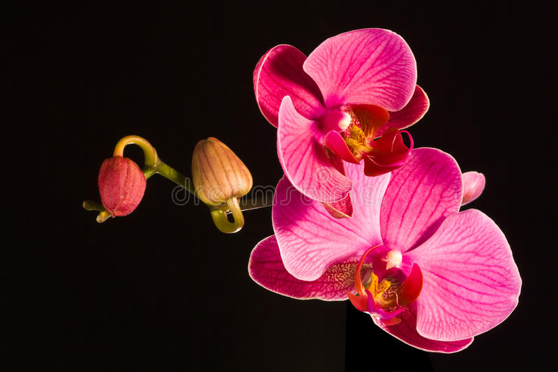 orchids κόκκινο στοκ εικόνα